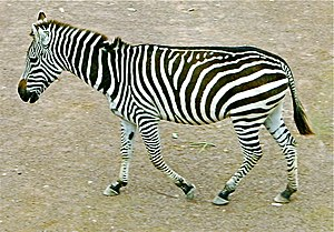 Quadrupedalism - The Zebra is a quadruped.