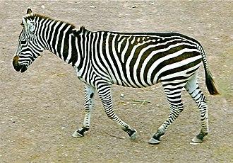 Quadrupedalism - The Zebra is a quadruped.