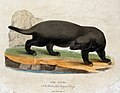 Zoological Society of London; a ratel. Coloured etching by S Wellcome V0023142.jpg