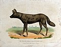 Zoological Society of London; a tortoise-shell hyena, or hye Wellcome V0023133.jpg