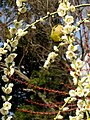 Zosterops japonicus with Prunus mume 'pendula' 01.jpg