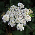 'Heracleum sphondylium' - Common Hogweed at Shipley, West Sussex, England 03.JPG