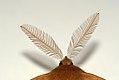 (1923) Feathered Thorn (Colotois pennaria) (4051701885).jpg