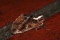 (2008) Coxcomb Prominent (Ptilodon capucina) (3533801142).jpg
