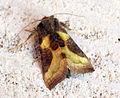 (2434) Burnished Brass (Diachrysia chrysitis) (9674781560).jpg