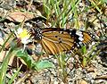 (Danaus chrysippus) plain tiger at Madhurawada 03.jpg