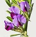 (MHNT) Vicia sativa - flowers.jpg
