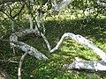«Яблуня-колонія», ботанічна пам'ятка природи-3.JPG