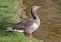 Ánsar común (Anser anser) en el Parque Olímpico, Múnich, Alemania 2012-04-28, DD 04.JPG