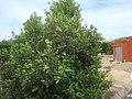 Árbol de Laurel (Laurus nobilis).jpg