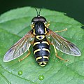 Ängsgetingfluga Hane03423.jpg