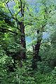 Алея вікових дубів 03.JPG