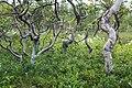 Искривленные березы в лесотундре Северного Урала.jpg