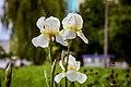 Квіти - Півники. Фото 3.jpg