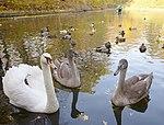 Лебеді в парку Олександрія.jpg