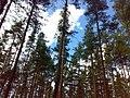 Лес у Кирилловского - panoramio.jpg