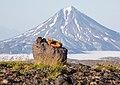 Лиса-огневка на фоне Вилючинского вулкана.jpg