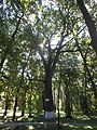 Михайлівці парк дуб 011.jpg