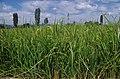 Ориз во Кочанско 06.jpg