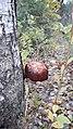 Парк. Гриб на дереве. Вики-встреча 24.10.2020 01.jpg