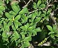 Суцвіття та листки барбарису звичайного.jpg
