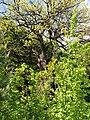 С. Колиндяни, Межовий дуб лісове урочище «Коло дуба».jpg