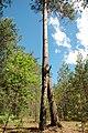 Унікальне дерево Брецького лісу.JPG