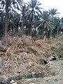 بستان نخيل في الخالص 99.jpg