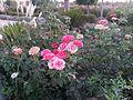 زهور منتزه المربوح.jpg