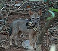 കുറുനരി,Golden Jackal or Indian Jackal, canis aureus indicus.jpg
