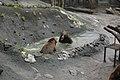 のぼりべつクマ牧場14 Noboribetsu bear park.jpg