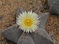 仙人掌-螺旋鸞鳳玉 Astrophytum myriostigma -北京花卉大觀園 The World Flower Garden, Beijing- (9216066850).jpg
