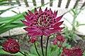 大星芹 Astrantia major Hadspen Blood -比利時 Leuven Botanical Garden, Belgium- (9204836625).jpg