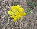 小冠花屬 Coronilla minima -哥本哈根大學植物園 Copenhagen University Botanical Garden- (37042523385).jpg