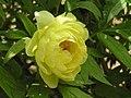 日本牡丹-真晝閣 Paeonia suffruticosa -洛陽王城公園 Luoyang, China- (12496093525).jpg