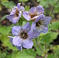 沙鈴花屬 Phacelia bolanderi -華沙大學植物園 Warsaw University Botanic Garden- (36368336495).jpg