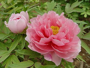Paeonia suffruticosa - Image: 洛阳牡丹