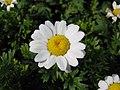 白晶菊 Leucanthemum (Chrysanthemum) paludosum -香港公園 Hong Kong Park- (9240155306).jpg