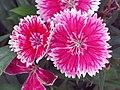 石竹 Dianthus chinensis Telstar -中山石歧 Zhongshan, China- (9450644506).jpg