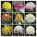 菊花 Chrysanthemum morifolium cultivars 9 -上海共青森林公園 Shanghai, China- (11994930384).jpg