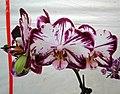 蝴蝶蘭 Phalaenopsis Ever Spring Prince 'Pretty Cat' -香港花展 Hong Kong Flower Show- (33564975852).jpg