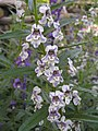 香彩雀(天使花) Angelonia salicariifolia -泰國清邁花展 Royal Flora Ratchaphruek, Thailand- (9252477317).jpg