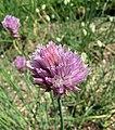 高山細香蔥 Allium schoenoprasum v alpinum -維也納大學植物園 Vienna University Botanical Garden- (28540182592).jpg