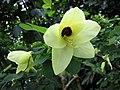 黃花羊蹄甲 Bauhinia tomentosa -華沙大學植物園 Warsaw University Botanic Garden- (9213351845).jpg