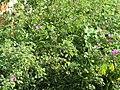 -2018-09-19 Common mallow (Malva sylvestris), Trimingham.JPG
