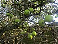 -2018-10-30 Crab apples (Malus sylvestris), Norfolk coast path, Norfolk.JPG