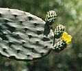 007 prickly pear.jpg