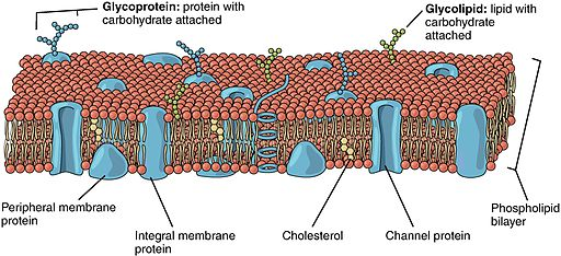 0303 Lipid Bilayer With Various Components