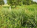 0369jfPulilan Balatong Manggo Fields grass Bulacanfvf 33.JPG