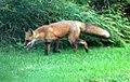 043 Red Fox (8057816729).jpg